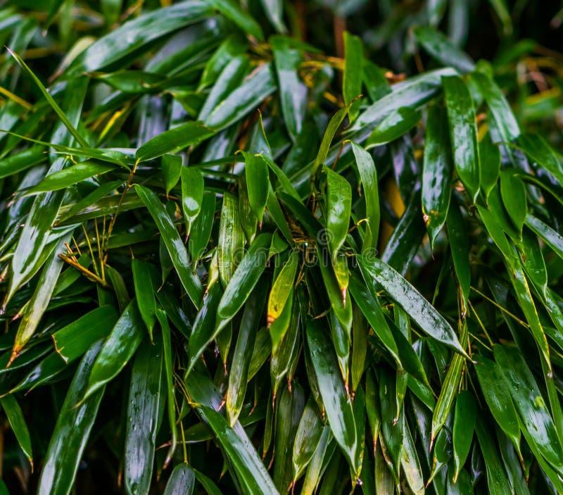 Macro plan rapproché des feuilles en bambou vertes humides, jardin japonais, modèle de fond naturel images libres de droits