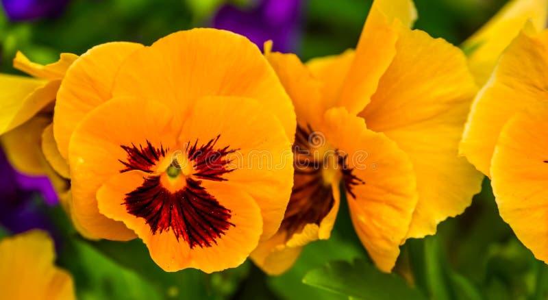 Macro plan rapproché des fleurs de fleur de pensée, colorées et populaires oranges de jardin d'agrément, fond de nature image stock