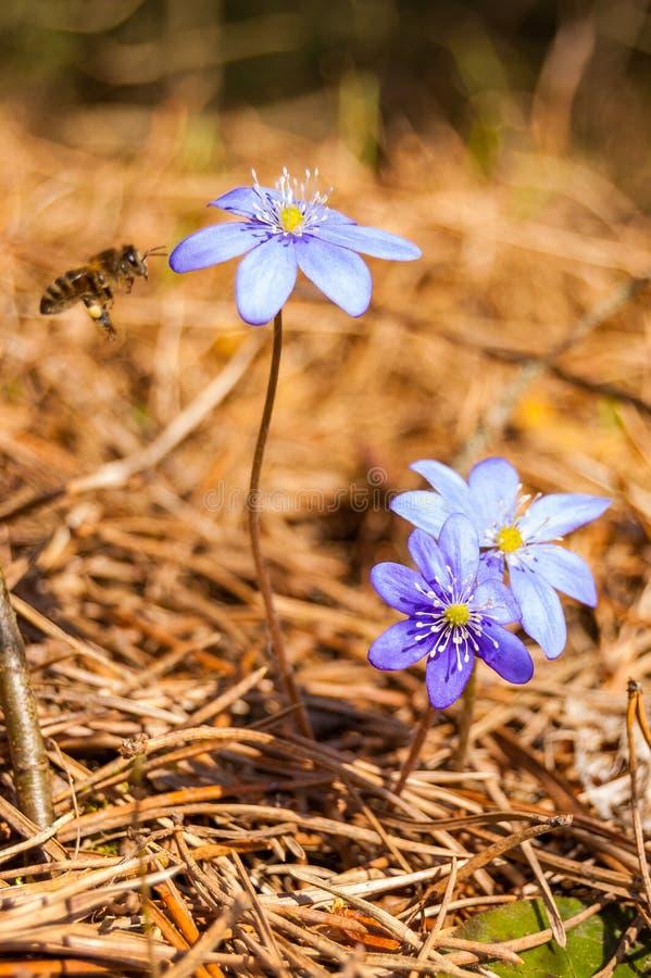 Macro plan rapproché des fleurs violettes bleues d'abord de floraison de perce-neige tendre de Hepatica et de l'abeille de travai photos stock