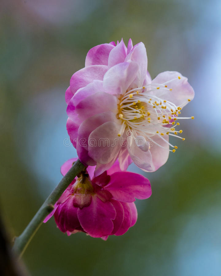 Macro plum. Plum is China`s top ten flowers of the first, and orchids, bamboo, chrysanthemum together as a four gentlemen, and pine, bamboo and known as the ` royalty free stock image