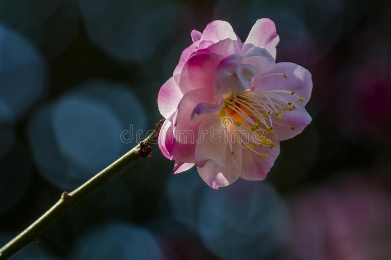 Macro plum. Plum is China`s top ten flowers of the first, and orchids, bamboo, chrysanthemum together as a four gentlemen, and pine, bamboo and known as the ` royalty free stock photos
