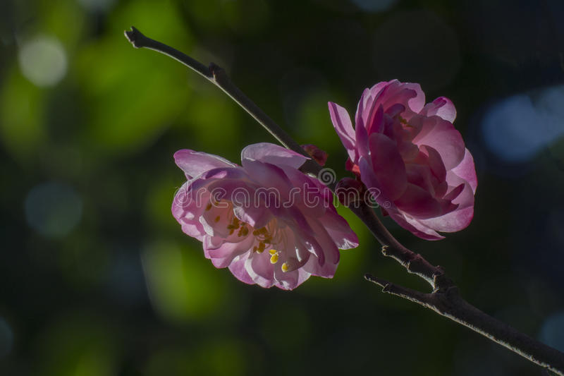 Macro plum. Plum is China`s top ten flowers of the first, and orchids, bamboo, chrysanthemum together as a four gentlemen, and pine, bamboo and known as the ` stock photos