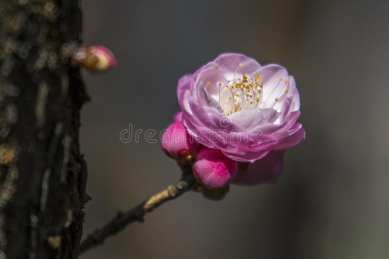 Macro plum. Plum is China`s top ten flowers of the first, and orchids, bamboo, chrysanthemum together as a four gentlemen, and pine, bamboo and known as the ` royalty free stock photo