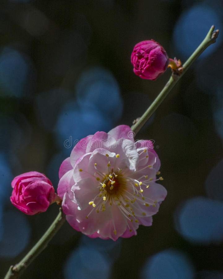 Macro plum. Plum is China`s top ten flowers of the first, and orchids, bamboo, chrysanthemum together as a four gentlemen, and pine, bamboo and known as the ` stock image