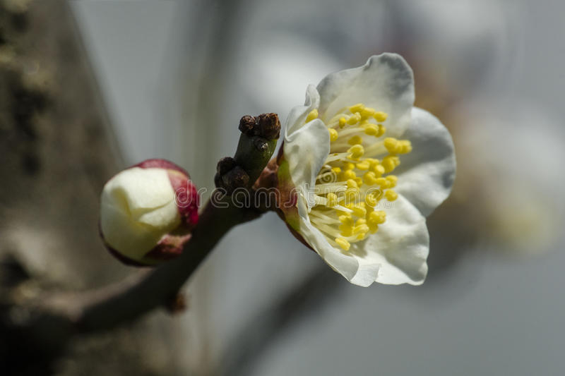 Macro plum. Plum is China`s top ten flowers of the first, and orchids, bamboo, chrysanthemum together as a four gentlemen, and pine, bamboo and known as the ` royalty free stock photography