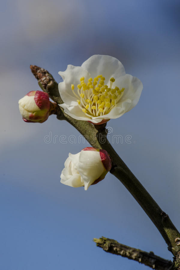 Macro plum. Plum is China`s top ten flowers of the first, and orchids, bamboo, chrysanthemum together as a four gentlemen, and pine, bamboo and known as the ` stock photo