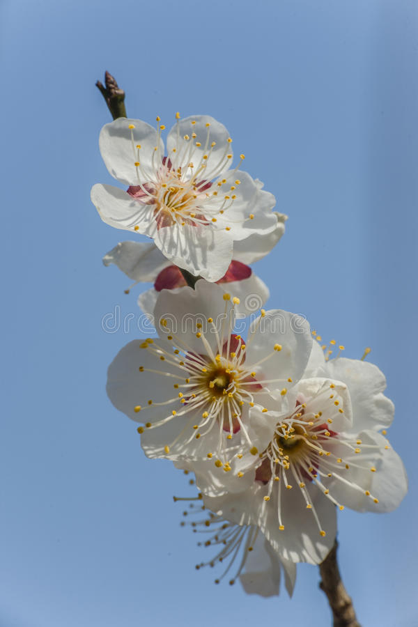 Macro plum. Plum is China`s top ten flowers of the first, and orchids, bamboo, chrysanthemum together as a four gentlemen, and pine, bamboo and known as the ` stock photography