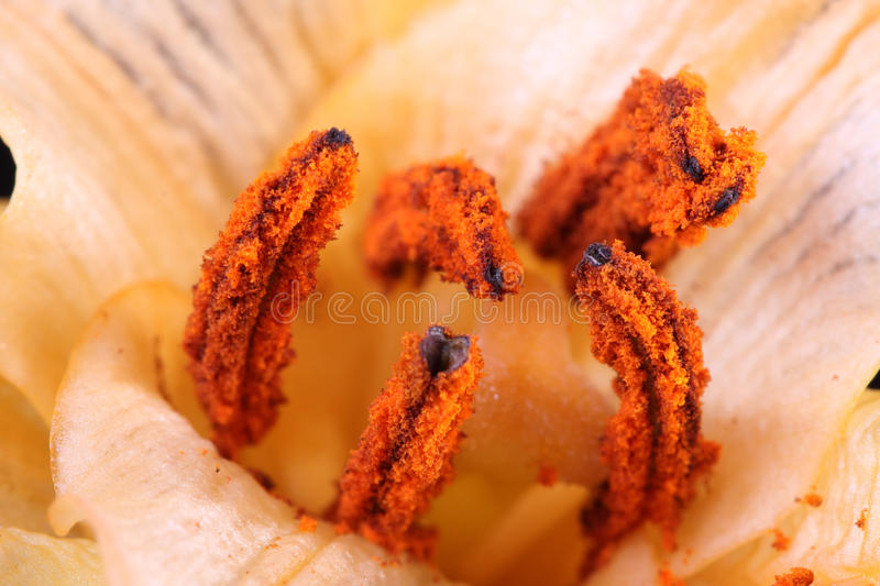 Macro of the pollen of a lily royalty free stock photography