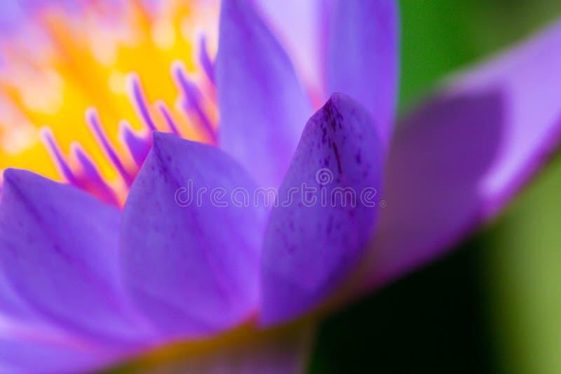 Macro polline di loto porpora fotografia stock
