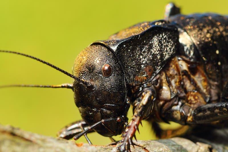 Macro portrait of big bellied cricket. Bradyporus dasypus stock photography