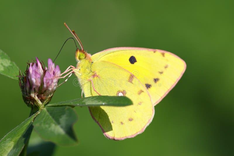Download Macro Portrait Coloré De Papillon Photo stock - Image du pourpré, fleur: 77160218