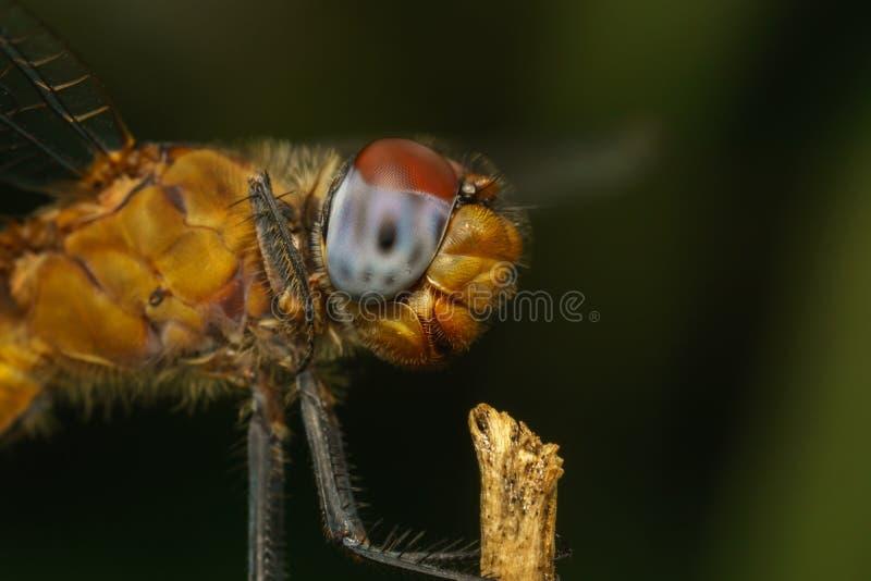 Macro portrait d'une libellule - photo courante photo libre de droits