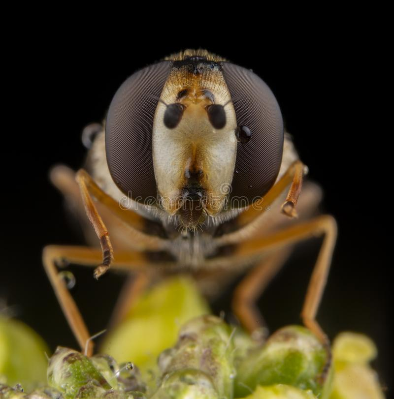 Macro portrait of fly diptera close up with bkack background stock images
