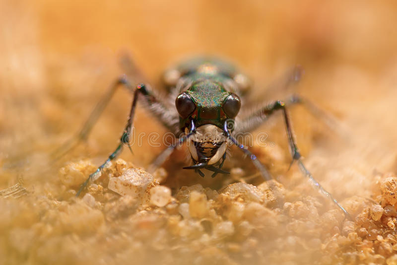 Macro portrait of a tiger beetle. Frontal macro portrait of a tiger beetle stock image