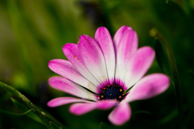 Macro pousse de l'Osteospermum images libres de droits