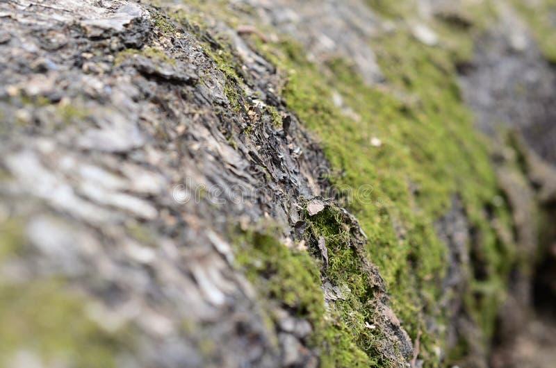 Macro, primer del musgo y liquen en el fondo de la textura de la corteza de abedul fotografía de archivo