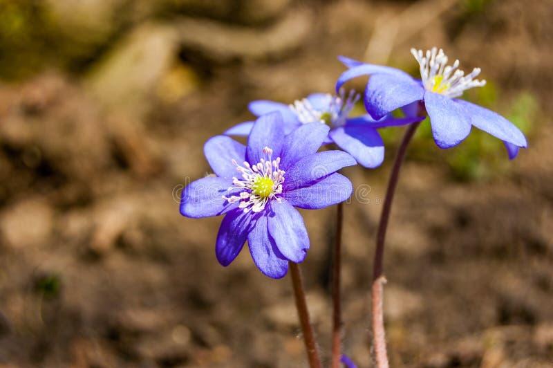 Macro primo piano dei fiori viola blu in primo luogo di fioritura di bucaneve tenero di Hepatica nella foresta in anticipo della  immagini stock