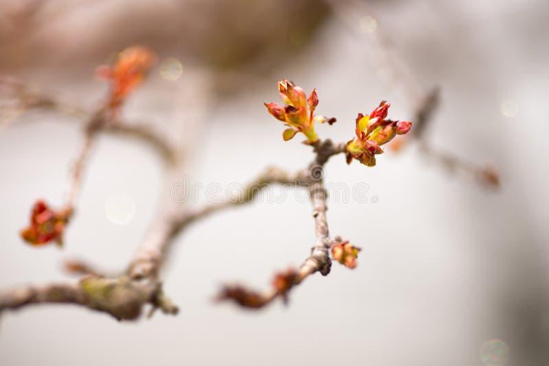 Macro primo piano dei germogli & delle foglie della primavera rossa contro fondo neutrale fotografie stock libere da diritti