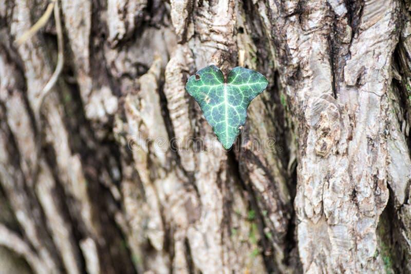Macro primo piano della foglia a forma di del singolo cuore su un tronco di albero fotografia stock libera da diritti