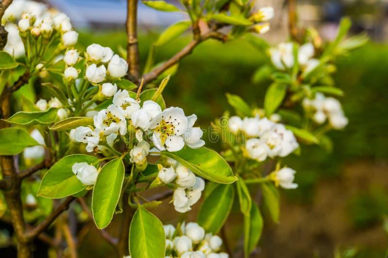 Macro primo piano delle rose bianche in fioritura durante la molla, il pero, la coltivazione della frutta ed il giardinaggio orga fotografia stock