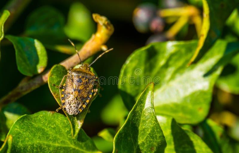 Macro primo piano di un insetto chiazzato dello schermo che si siede su una foglia verde dell'edera, insetto comune da Europa immagini stock