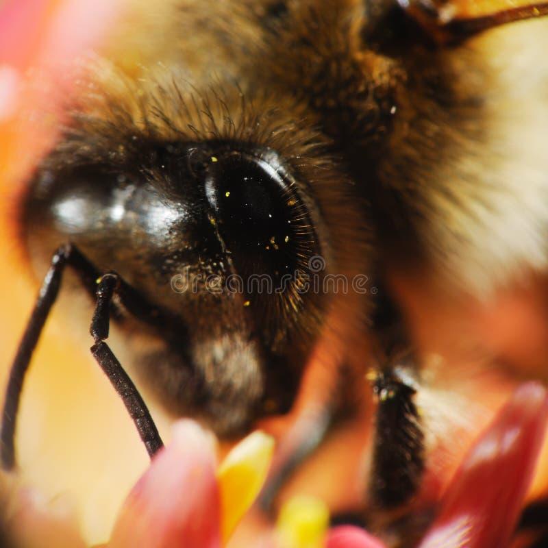 Macro principal de la abeja fotos de archivo libres de regalías