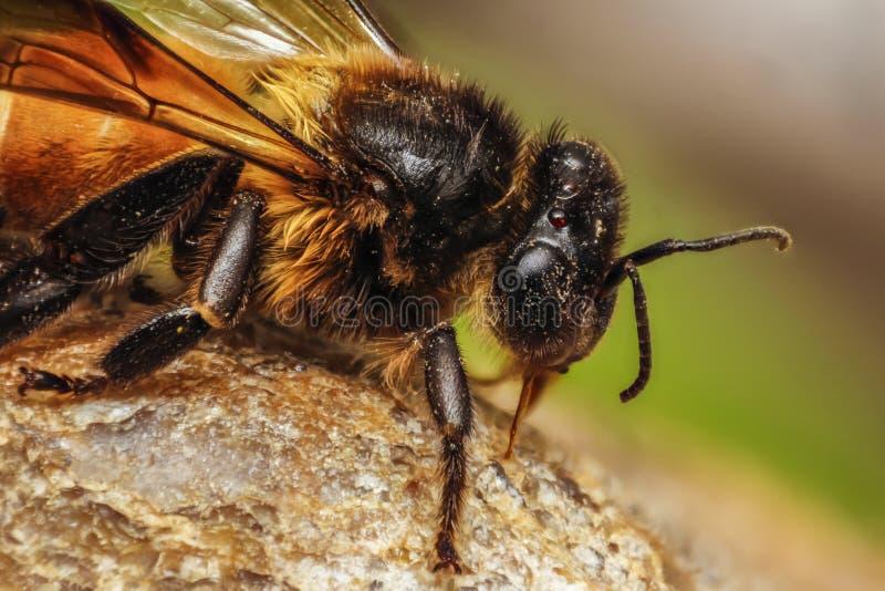 Macro principal de la abeja de la miel con los detalles imagen de archivo