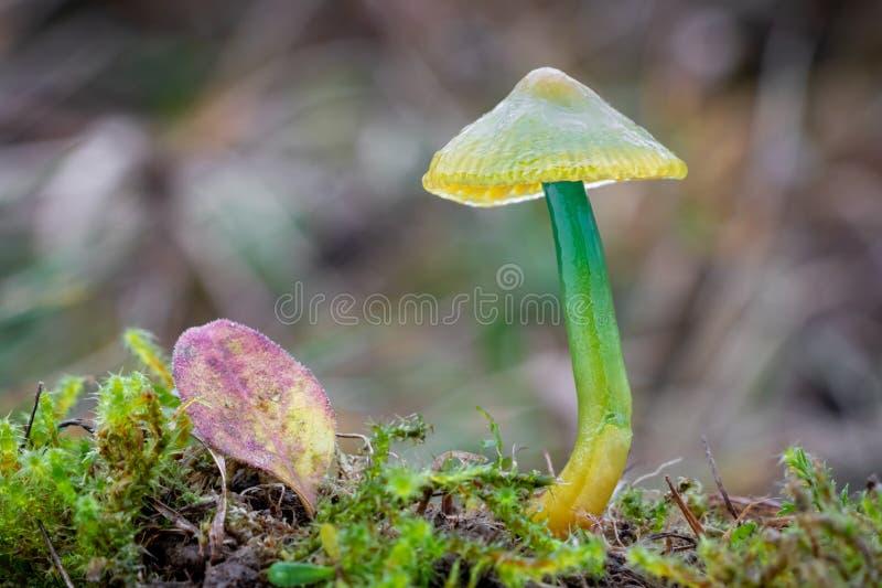 Macro prise d'un petit champignon aux couleurs magnifiques Parrot Toadstool photos stock