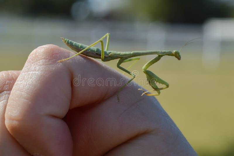 Macro profile photo of a green prey mantis on a white hand stock image