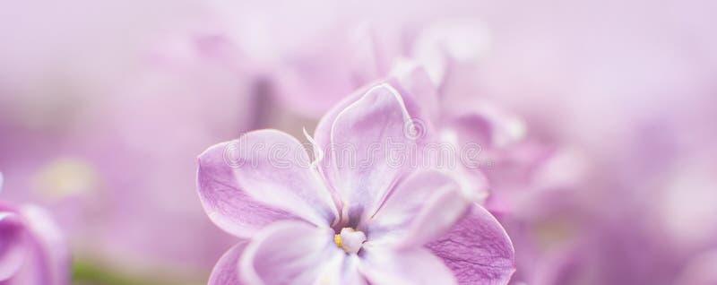 macro punto di vista del lill? del fiore Un bello mazzo di primo piano lilla Fioritura di Bush Fiori nel giardino Fuoco selettivo fotografie stock libere da diritti