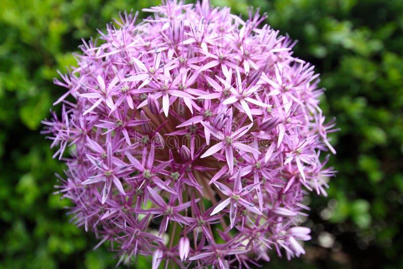 Macro of a  Purple Allium flower royalty free stock photos