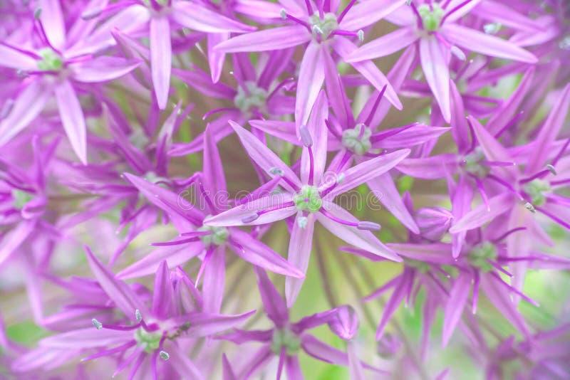 Macro texture purple Allium hollandicum flower, , soft selective focus stock photo