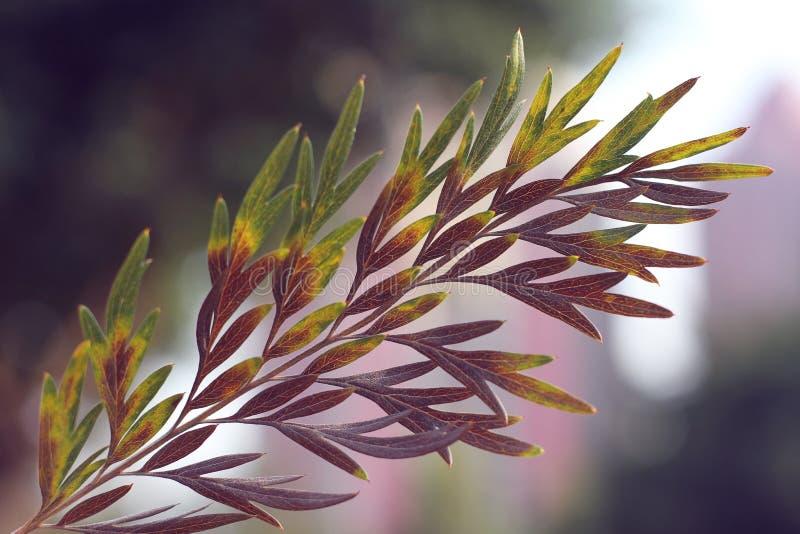 macro of purple leaves of backlight stock photo