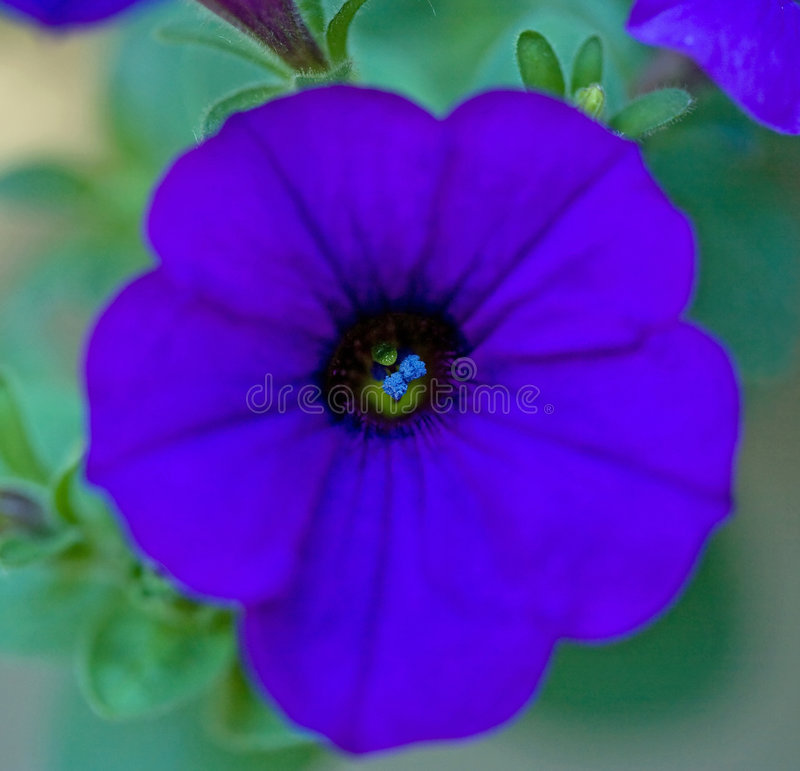 Macro of Purple Petunia stock image