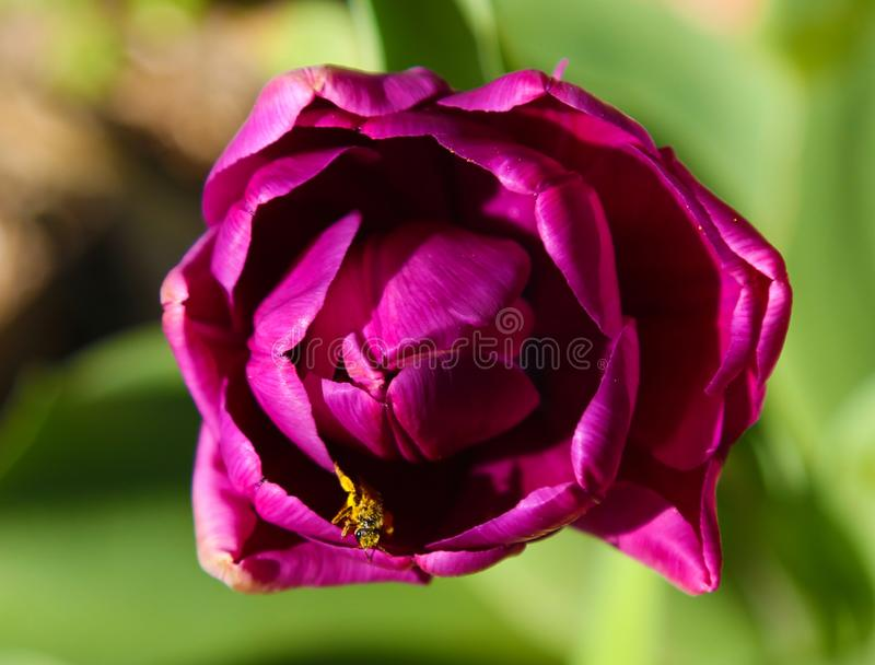Macro of purple tulip. View from above. Bee is pollinating inside tulip. Insect in flower royalty free stock photo