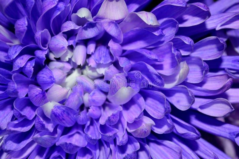 Download Macro Purple And White Dahlia Stock Image - Image of food, micro: 107630761