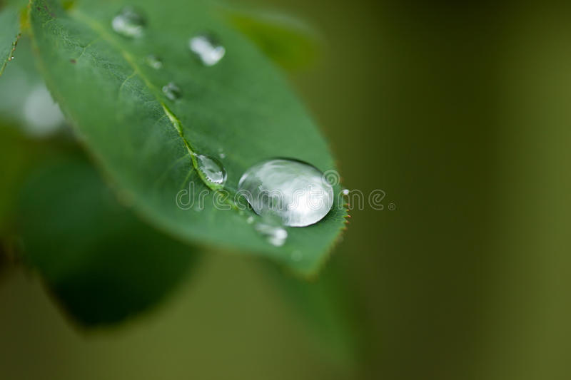 Macro raindrop on leaf. Macro of large raindrop gathered on rose leaf stock image