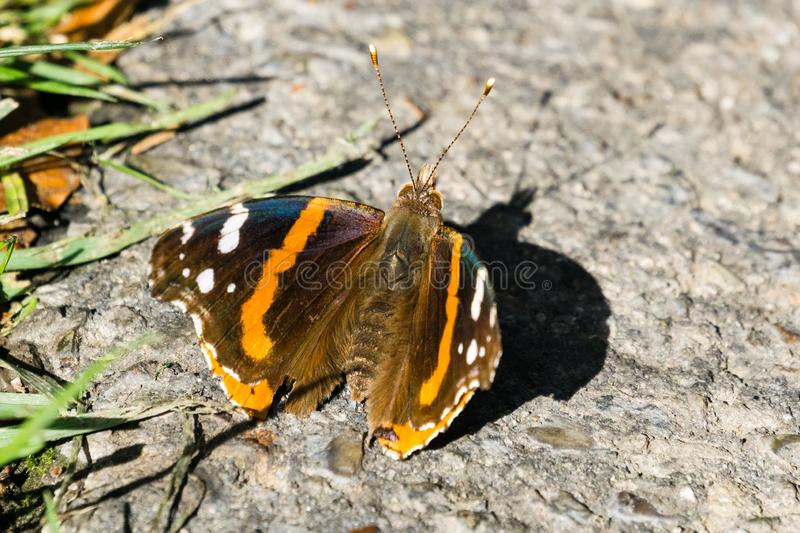 Macro of Red admiral butterfly on a paved alley, California stock images