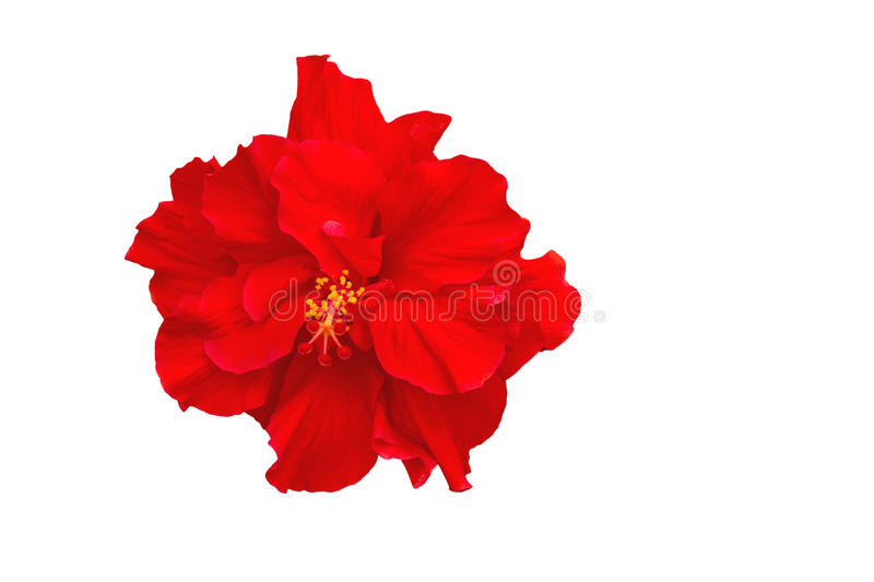 Macro of red China Rose flower (Chinese hibiscus, Hibiscus rosa-sinensis , Hawaiian hibiscus , shoe flower ) isolated on white ba stock images