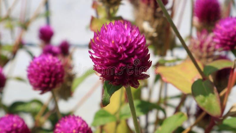 Macro Red clover stock photos