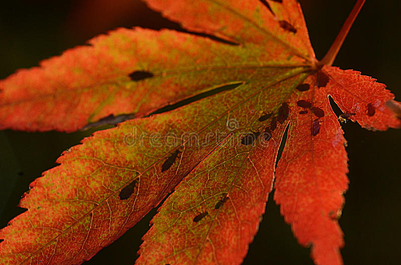 Macro red leaf and bugs stock image