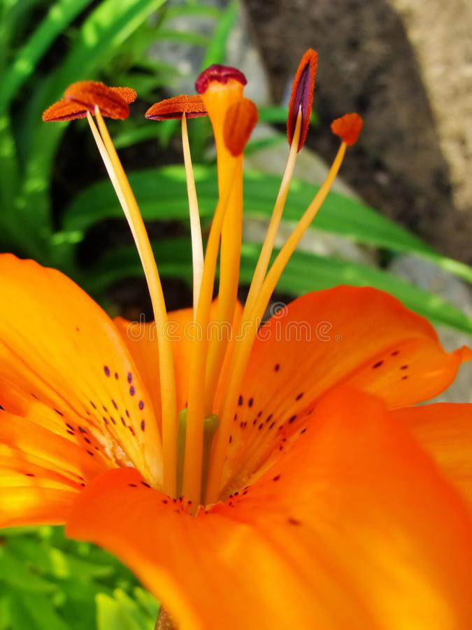 Macro of red, orange flower with pollen on anther. stock image