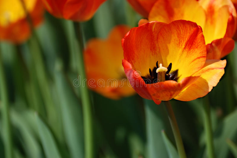 Macro of red and yellow tulip stock photo