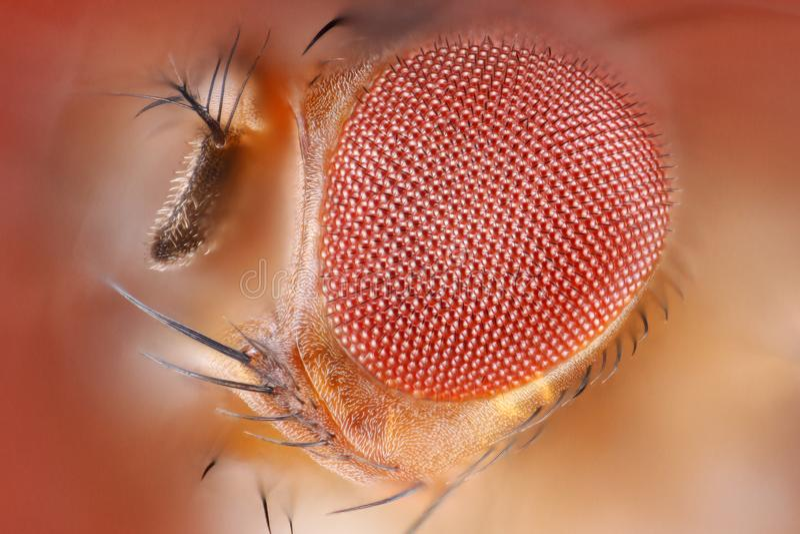 Macro ritratto tagliente estremo della testa della mosca della frutta preso con l'obiettivo del microscopio impilato da molti col immagine stock libera da diritti
