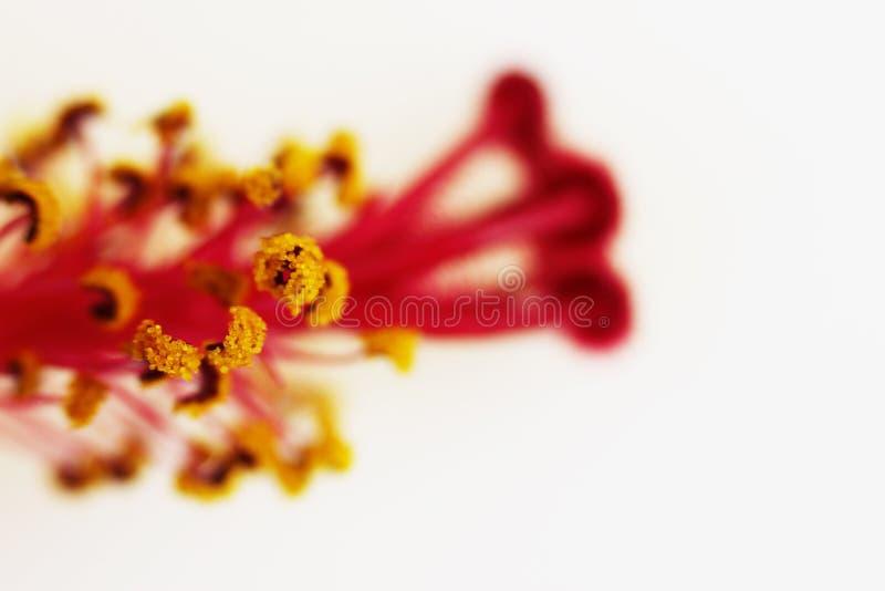 Macro rode stamper en de gele van de familiemalvaceaeon van de bloem stamens hibiscus witte achtergrond stock foto