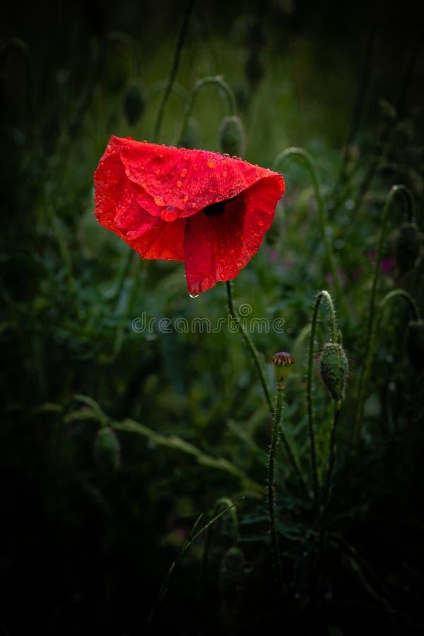 Macro roja agradable de la naturaleza del verano del color de la flor del Papaver foto de archivo