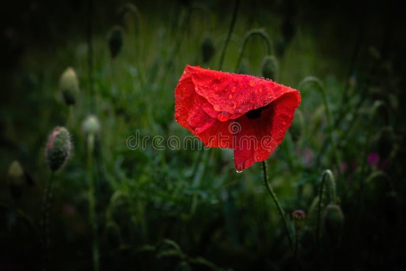 Macro roja agradable de la naturaleza del verano del color de la flor del Papaver imagenes de archivo
