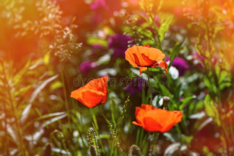Macro roja agradable de la naturaleza del verano del color de la flor del Papaver fotos de archivo