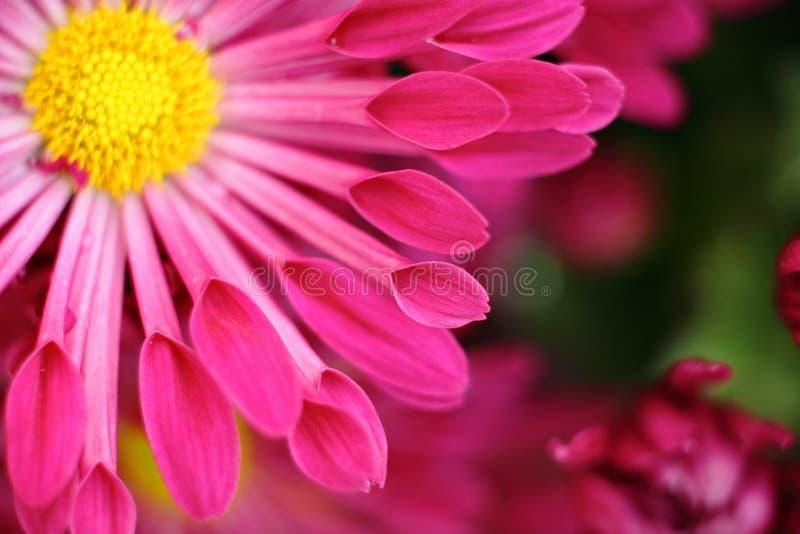 Macro roja de la flor foto de archivo