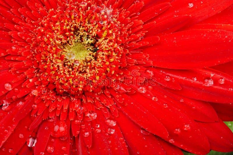 Macro roja de la flor con las gotitas de agua imagen de archivo libre de regalías